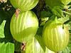Крыжовник: польза ягод, особенности ухода