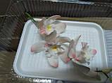Гілка орхідеї великої з бутонами L 250, фото 2