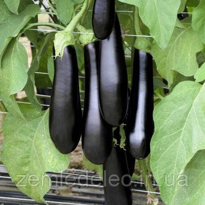Семена баклажана Каратай F1 250 семян Vilmorin