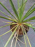 Юкка садовая/ Yucca, фото 1
