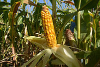 Семена кукурузы Артуа ФАО – 270