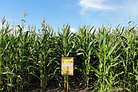 Семена кукурузы ДН Пивиха. ФАО –180