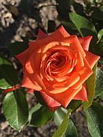Королева цветов – Роза