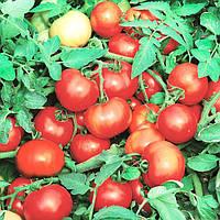 Семена томата Джокер F1 (1000 сем.)