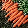 Семена моркови Темпо F1 25 000 семян Vilmorin
