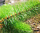 Сосна уличная конусная Ялинка України хвоя леска 6м, фото 2