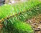 Сосна интерьерная Ялинка України Зеленая хвоя леска 5,5м, фото 2