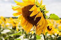 Насіння соняшнику Рекольд (Під Гранстар)