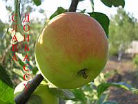 Саженцы яблони зимнего срока созревания  .  Слава Донбассу