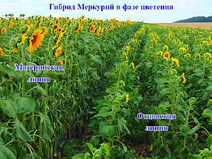Подсолнечник Меркурий (Класическая технология)- 1 п.е., фото 2