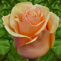 Роза чайно-гибридная Примадонна