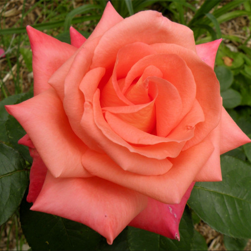 Роза чайно-гибридная Фольклор
