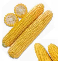Тусон F1 / ТАЙСОН F1 / TYSON F1 — среднеспелая сахарная кукуруза, 100 000 семян