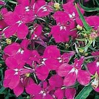 Лобелия Ривьера низкорослая 200 семян, розовая Pan American