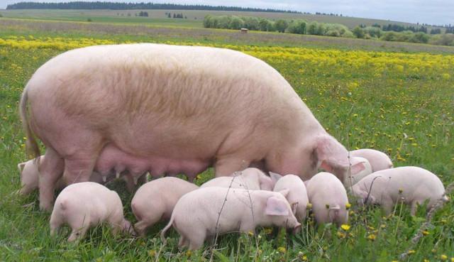 Как кормить свиней с наибольшей выгодой?