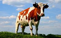 Как технологически правильно кормить коров