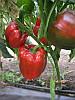 Семена перца СОЛОМОН (ПИКТОР) F1, (1000 сем.), Clause, Франция