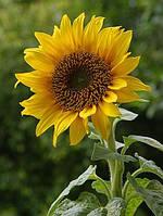 Семена подсолнечника - Тристан (круизер)