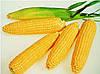 Кукуруза сахарная ТУРБИН F1 ,(5000 сем.), Clause, Франция