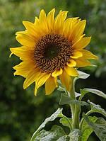 Семена подсолнечника - Тристан