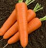 Насіння моркви гібридна тип НАНТЕС (пізня для зберігання) САТУРНО F1, (100 000сем.), Clause, Франція