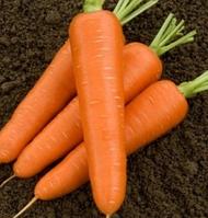 Семена моркови гибридная тип НАНТЕС (поздняя для хранения) САТУРНО F1, (100 000сем.), Clause, Франция