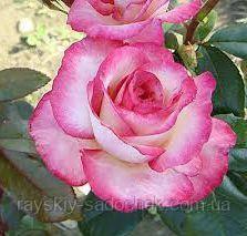 Роза плетистая Хендель класс АА