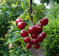 Плодовые питомники