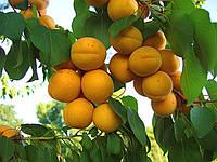 Нові сорти плодових дерев