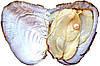 Жемчуг из Южных морей
