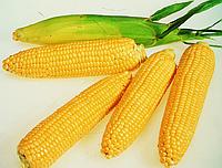 Семена кукурузы Яровець-243 МВ