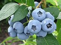 Голубика обыкновенная Vaccínium uliginósum С3 h0,4м