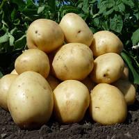 Картофель семенной ранний Аризона