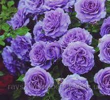 Роза в'юнка Блу Мун клас АА