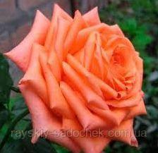 Троянди чайно-гібридна Эльтора клас А