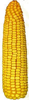 Семена Кукурузы Пионер П9578 ФАО 350