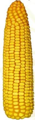 Семена кукурузы от производителя Агрокорпорация Степная