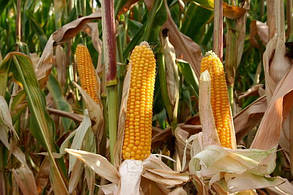 Насіння кукурудзи ДБ Хотин, фото 2