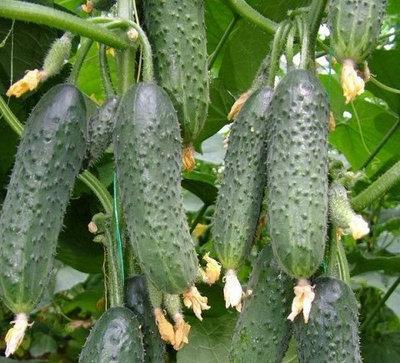 СТРАЖ (314) F1 / STRAZH (314) F1, 10 семян — огурец партенокарпический, Yuksel Seeds