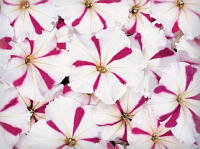 Петуния мультифлора Селебрити (цвет на выбор) 500 шт., фото 1