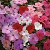 Бальзамин Баланс F1 100 семян цвет на выбор  Hem Zaden