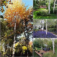 Береза бородавчатая (Betula verrucosa) /Н 500+ / ОС 16-18 см / грунт