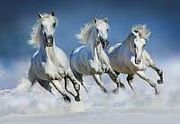 Фотообои бумажные на стену 366х254 см 8 листов: животные, Арабские кони №162, фото 1