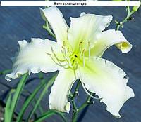 Лилейник HEAVENLY WHITE LIGHTENING (Gossard'2010)