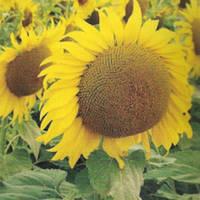 Семена подсолнечника - Соларни КС