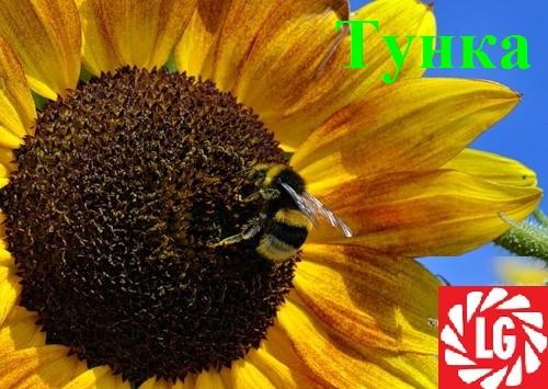 Семена подсолнечника Лимагрейн Тунка, A-G,  (Limagrain)