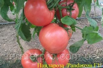 Семена розового томата Пандароза (Pandarosa F1) 250 сем. Seminis