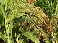Сорго сахарное (Sorghum sacchartum). Резервная культура для производства сахара и не только…