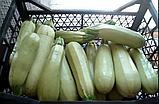 Искандер F1 500 шт. семена кабачка SEMINIS Голландия, фото 5