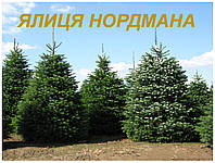 Саженцы Пихты Нордмана(ЗКС) 2 г.
